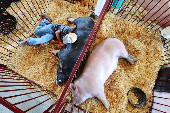 Cody Childs Jr. of Martinsburg rests on his hog in the swine barn on Sunday at the Berkeley Co Youth Fair.
