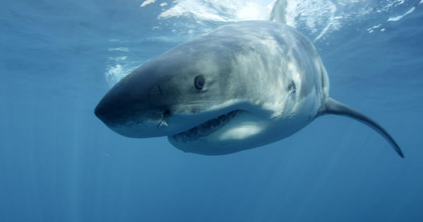 Discovery Channel's Shark Week, which began Sunday, entered the top 10 most discussed TV programs on Twitter, according to SocialGuide. This great white shark near Guadalupe Island off the coast of Mexico is among the ocean predators featured.