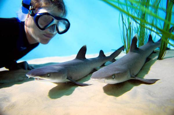Two of the four healthy whitetip reef shark pups born July 18 get a close-up look from a Discovery Cove shark expert. Each of the pups weighed less than 3 pounds at birth and were about 2 feet long.