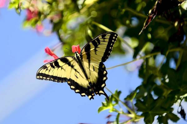 An Eastern Tiger Swallowtail finds nourishment in a butterfly sanctuary at the Children's Museum in West Hartford. The exhibit continues through Labor Day.