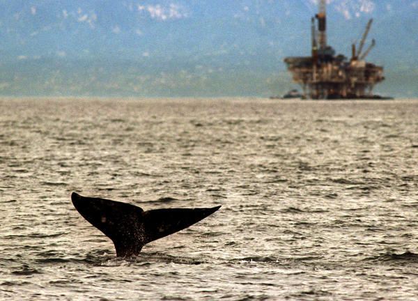 The fluke of the tail of a Pacific gray whale descends into the water just outside Channel Island Harbor as an oil rig stands in the background.