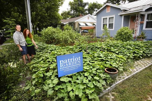 Sweet potato vine provides a lush cover, as Jason and Jennifer Helvenston stand in the front-yard garden of their College Park home, Wednesday, August 7, 2013. The City of Orlando has implemented new rules governing homeowners who want to grown vegetables in their front yard.