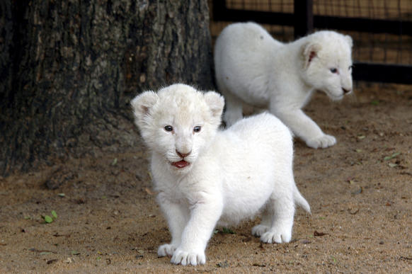 In honor of International Cat Day, Go Voluntouring has put together a list of opportunities for those interested in working with cats large and small, including the rare white lion of South Africa.
