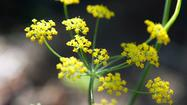 Growing fennel for its flowers, seeds and potent pollen