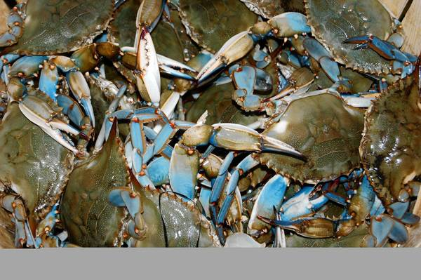 Blue crabs will be the subject of a talk at the Hampton History Museum.