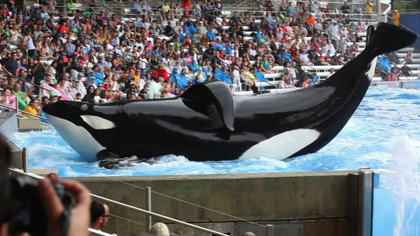 "A whale performs at SeaWorld in a scene from ""Blackfish."""