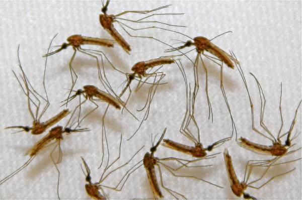 Malaria-infected mosquitoes are ready for dissection for vaccine production in Sanaria's lab in Rockville, Md.
