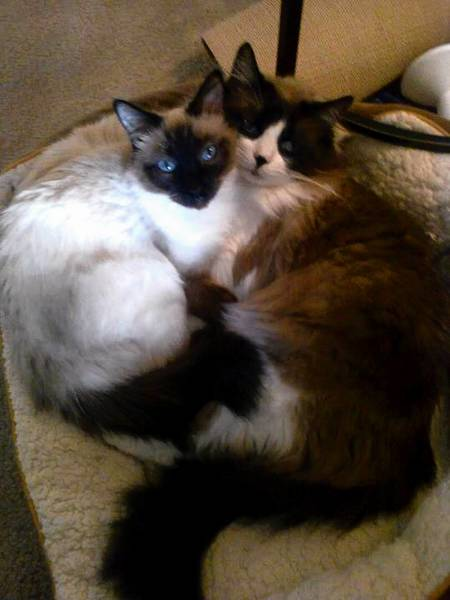 Sassy, a Siamese cat, cuddles with her cat friend, Spencer. Both are owned by Constance Johnson of Allentown.