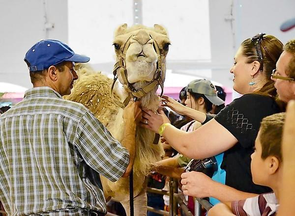 Gil Riegler, of the Oasis Camel Dairy in San Diego County, allows audience members to pet a camel at a camel-milking demonstration at the OC Fair on Aug. 3.