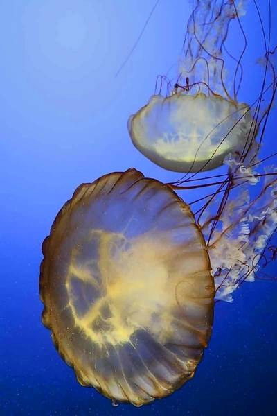 """Jellies"" exhibit at Shedd Aquarium"
