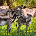 Zebras at Busch Gardens