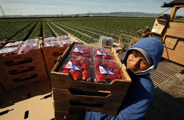 Phillip Sanchez carries boxes of strawberries freshly picked for Dole Food in the Santa Maria area earlier this year.