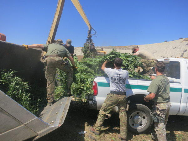 Officials load marijuana plants into the back of a pickup truck following the seizure of almost 5,000 pounds of marijuana from a pot farm inside Topanga State Park.