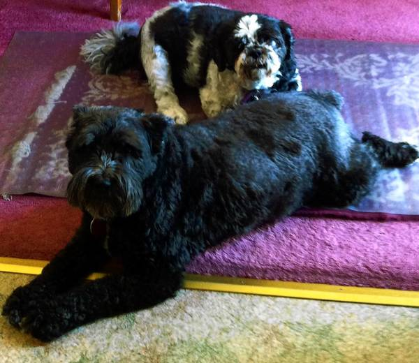Sadie (left), a mini schnauzer, and Emily, a Shih Tzu, are owned by Barbara and Andy Hrizuk of Catasauqua.