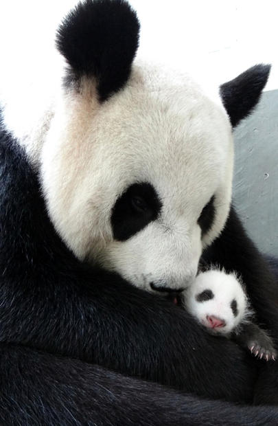 Giant panda Yuan Yuan hugs her cub in this undated photo released by the Taipei Zoo in Taiwan on Aug. 13, 2013.