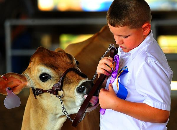 Fuzzy gets a taste of victory as Matthew Vickers searches for a place to pin another ribbon during dairy judging at the 2012 Jefferson County Fair. The 2013 county fair opens on Saturday, Aug. 17, near Kearneysville, W.Va.