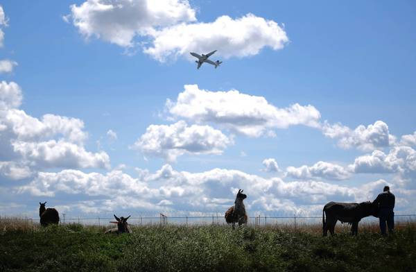 A herd of goats, sheep, llamas and burros graze Tuesday at O'Hare International Airport. The animals will graze there for about six months each year, said a Chicago Department of Aviation official.