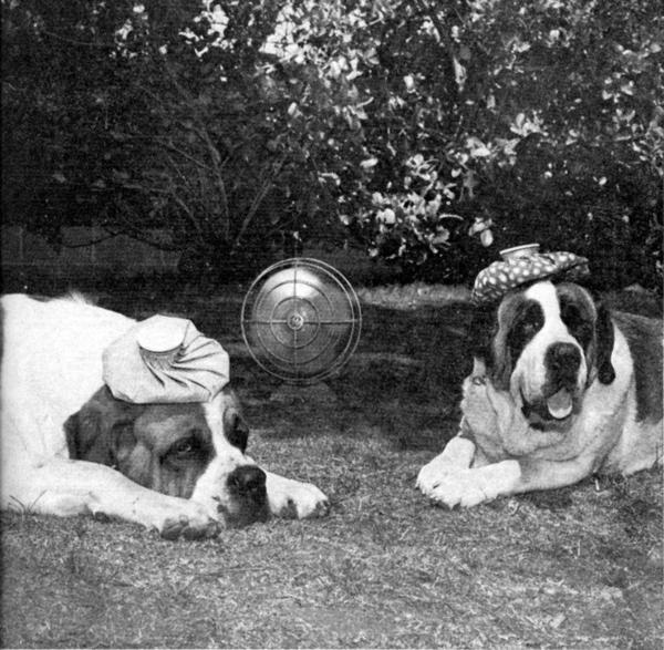 Big Mac, left, and Gretchen, St. Bernards belonging to a La Canada family, posed for the Valley Sun on a hot summer day in 1973 with ice packs on their heads.