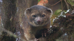 Olinguito -- why wasn't it discovered until now?