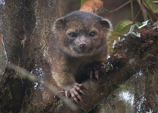The olinguito, a newly discovered mammal that lives in the treetops of the Andean cloud forest.