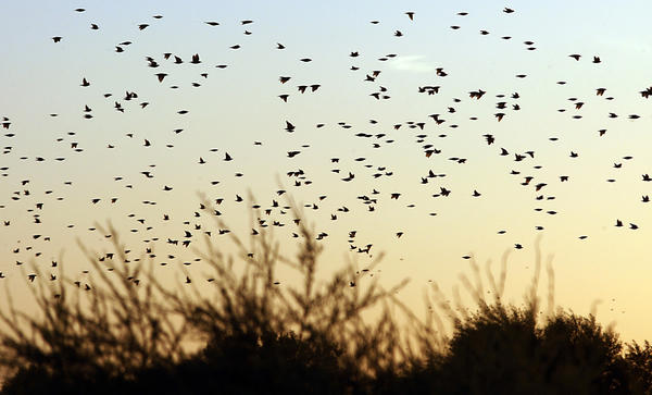 Birds swarm at sunset over Ryer Island in the Sacramento-San Joaquin River Delta, which boasts a diversity of flora and fauna that thrive in wetlands about the size of Orange County.