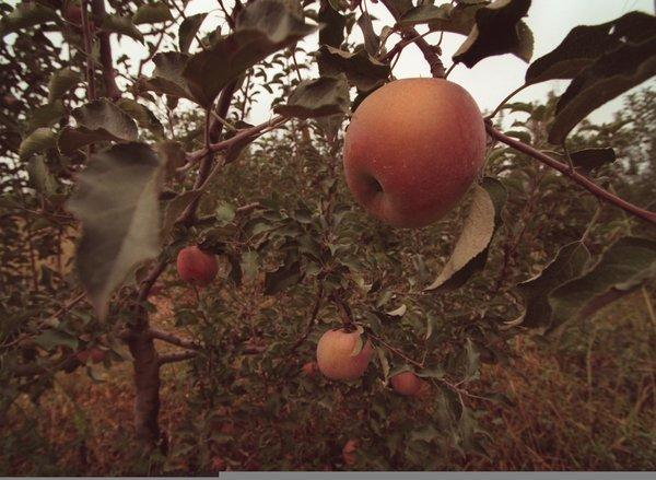 A new study argues that climate change has altered the taste and texture of Japanese apples over the last 40 years, although consumers may not perceive these changes.
