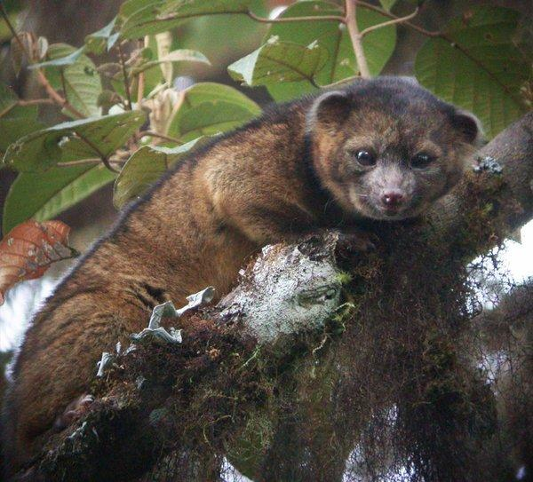 The olinguito, a new species of the mammalian order carnivora, had been mistakenly identified as its bigger relative, the olingo. It's the first new animal discovered in the Western Hemisphere in 35 years.