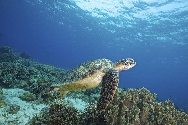 The United Nations this week will weigh an agreement to regulate activity in international waters outside the jurisdiction of any country. Above, a sea turtle swims near a coral reef in the Pacific Ocean.