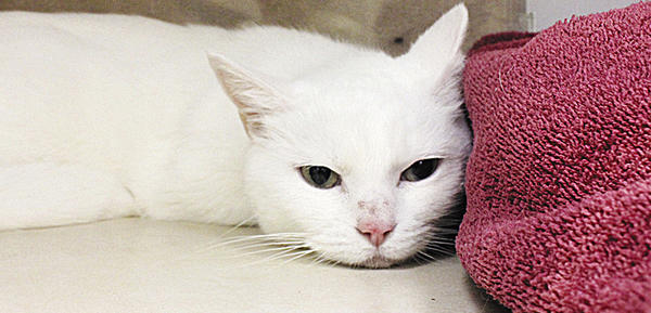 Snow White can be a little timid at times but she is very sweet. She loves to cuddle in her blanket and hide from everyone. She really is a doll and is ready to be adopted from the Humane Society of Washington County.