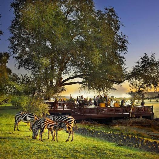 Zebras by River