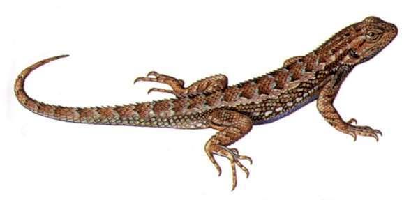 The amazing western fence lizard.