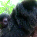 Goeldi's monkey at the Palm Beach Zoo