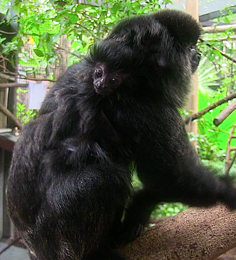 This Goeldi's monkey was born on July 19, 2013 at the Palm Beach Zoo.