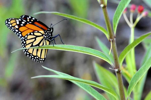 A colorful butterfly rests on a plant in the Old Dixie Eco-Walk in Boynton Beach.