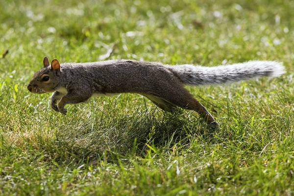 When frightened, squirrels dart back and forth to confuse predators.