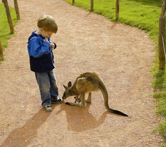 People can enter the kangaroo habitat at the Fort Wayne Children's Zoo. Here a joey is curious about a little visitor.
