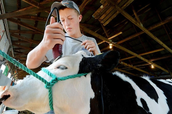 Christopher Daniel of Shenandoah Junction, W.Va., trims the head of his Holstein named Sake at the Jefferson County (W.Va.) Fair on Wednesday. Daniel is showing the calf Wednesday morning.