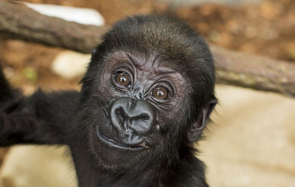 A recovered baby gorilla Nayembi after suffering facial injury