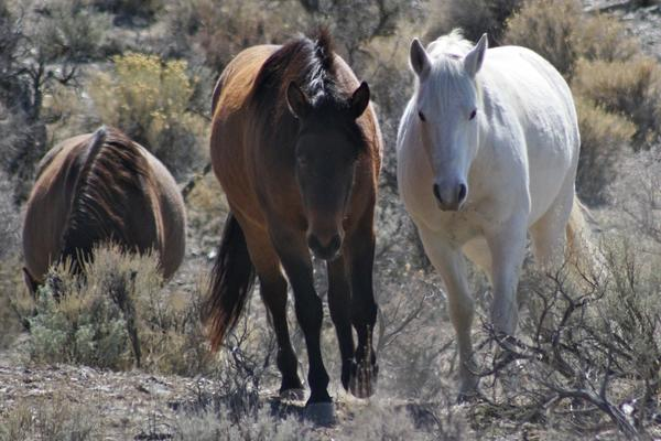 Wild horses such as these have been the focus of a dispute in Nevada.