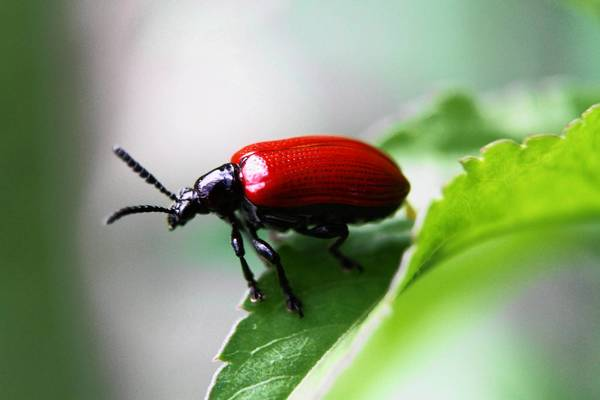 Lili beetles were recently released in Casselberry parks to battle invasive air potato vines.