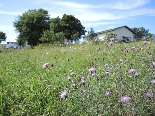 Spotted knapweed has been invading a hay field next to Bill's Farm Market in Petoskey. If left untreated, the knapweed will take over the field and destroy the value of the hay, says Joe Hoffman, who farms nearby.
