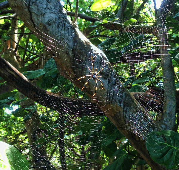 A giant banana spider weaves its web in a tree along Surf Road near Hollywood beach on Friday.