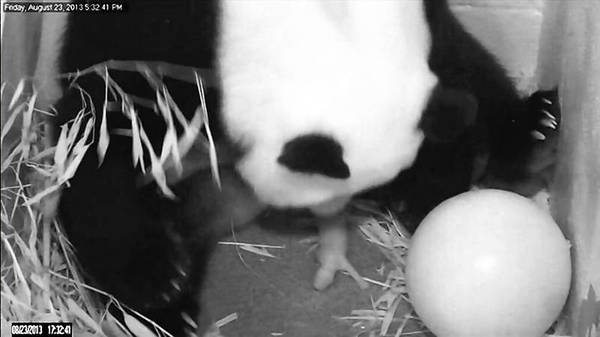 A panda delivers her cub at the Smithsonian National Zoo in Washington