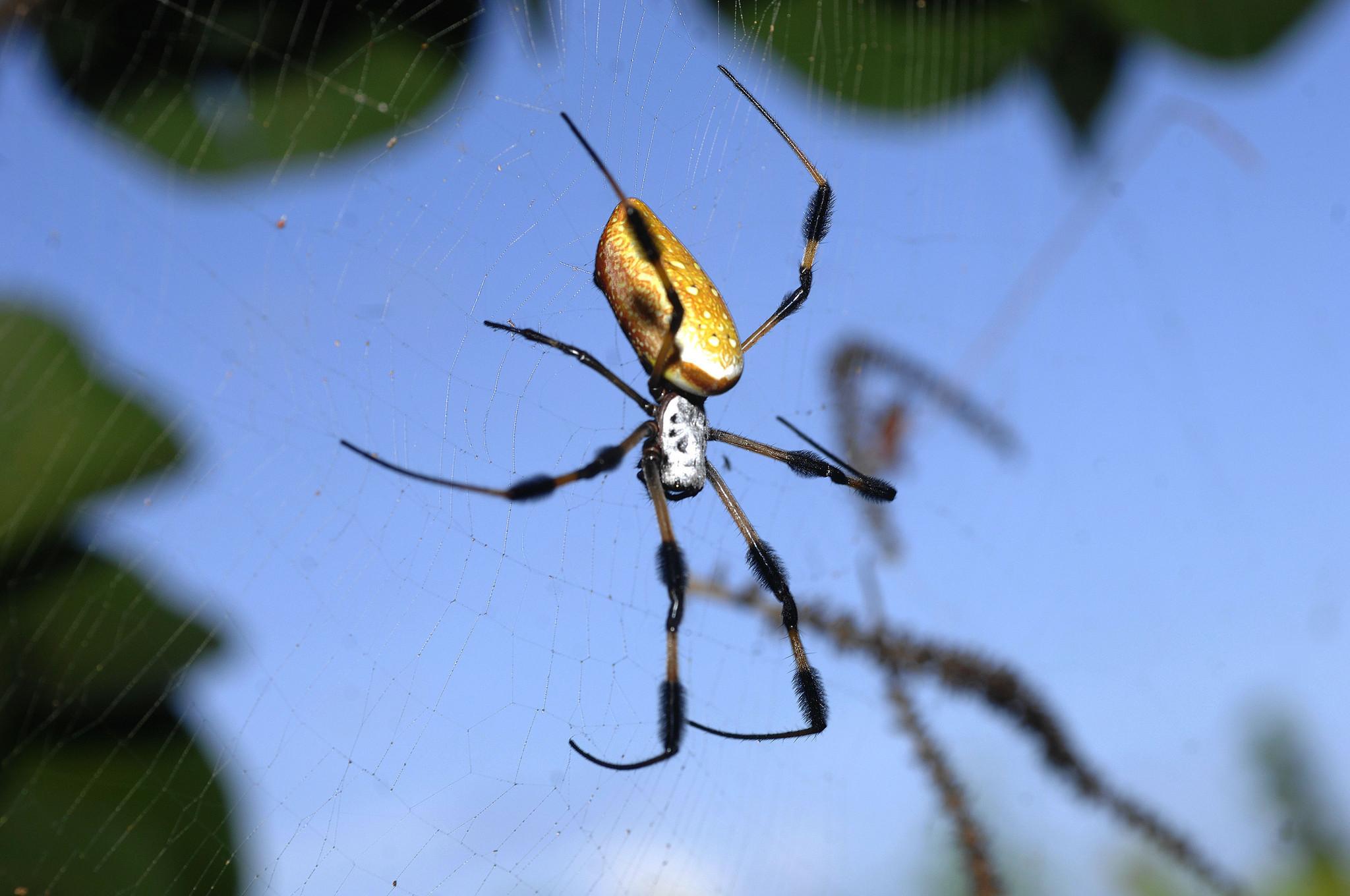 giant banana spiders everywhere sun sentinel
