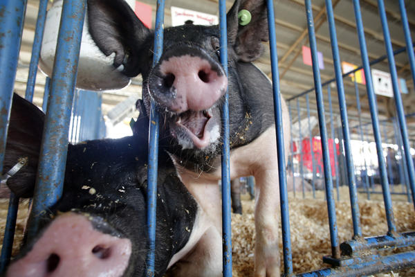 A pair crossbreed barrows get their snuffling snouts through the bars of their enclosure, Thursday, July 18, 2013 in St. Charles.