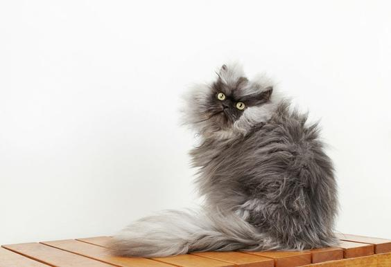 colonel meow the cat wins guinness record for longest fur photos