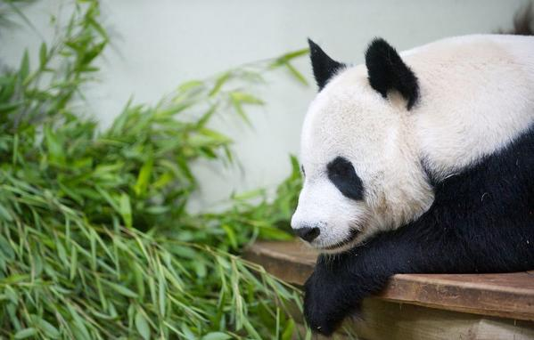 Tian Tian, a 10-year-old panda, is under 24-hour surveillance after experts at the Edinburgh Zoo in Scotland saw signs that she is pregnant.