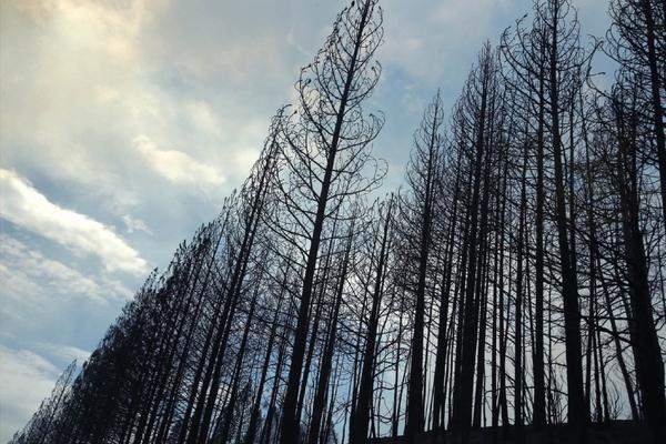 A blue sky behind a stand of charred ponderosa pines along Highway 120, burned by the Rim fire that has eaten up more than 230 square miles and 15% of the state's firefighting budget.