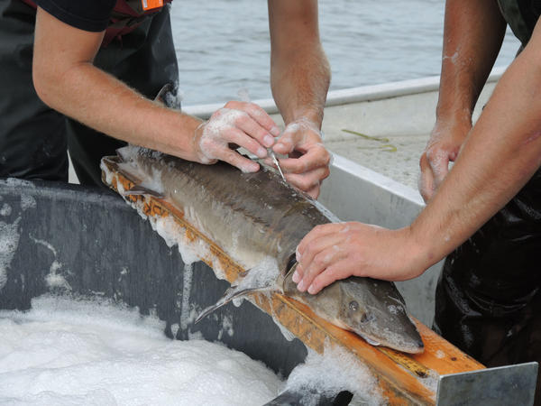 Michigan Department of Natural Resources workers place passive integrated transponder tag into a juvenile sturgeon on Black Lake in Cheboygan County.