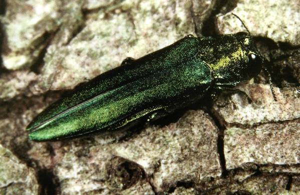 Mokena is in the first phase of a program to remove all trees seriously damaged by emerald ash borer, an invasive Asian insect that attacks ash trees.